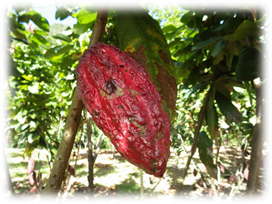 Kakaofrucht-auf-Baum